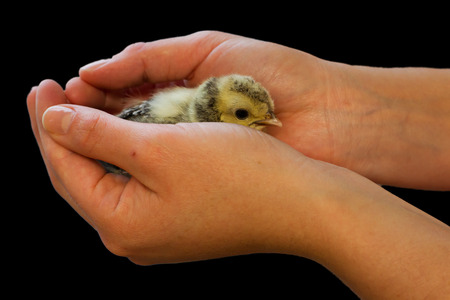 Chick on hand isolated on solid background photo