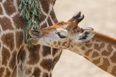 giraffa camelopardalis reticulata: Close up of a young giraffe eating leaves