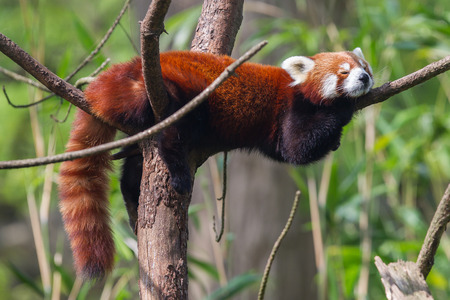 Red Panda, Firefox or Lesser Panda (Ailurus fulgens) resting in a tree Stock Photo
