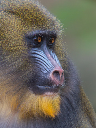 Portrait of the adult mandrill in its natural habitat Stock Photo