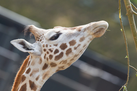 Close up of a adult giraffe eating