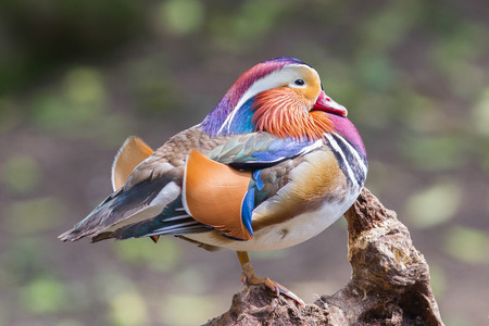 Mandarin duck resting on a piece of wood photo