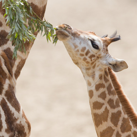 Close up of a young giraffe eating leaves Stock Photo - 28418303
