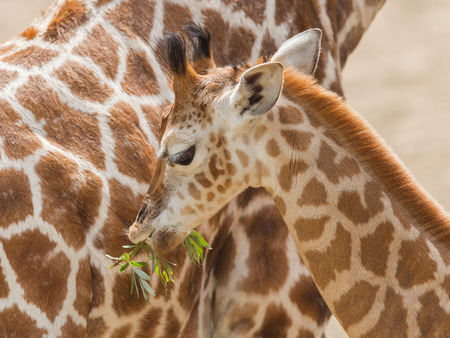Close up of a young giraffe eating leaves photo