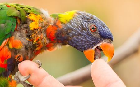 licking finger: Australian Rainbow Lorikeet, Trichoglossus moluccanus, licking a human finger Stock Photo
