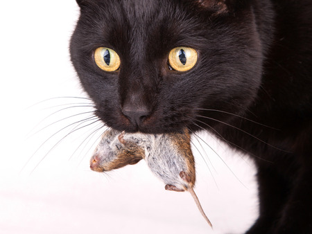 Close up of a black cat with his prey, a dead mouse photo