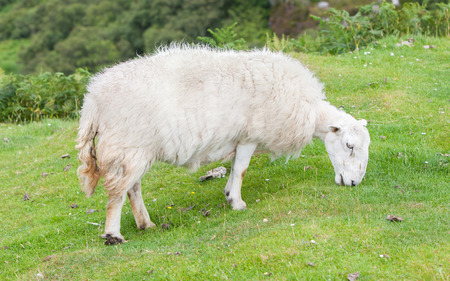 agri: White woolly sheep grazing in a green field