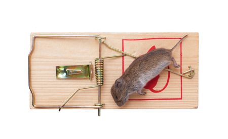 dead rat: Mouse in a mousetrap it is isolated on a white background Stock Photo