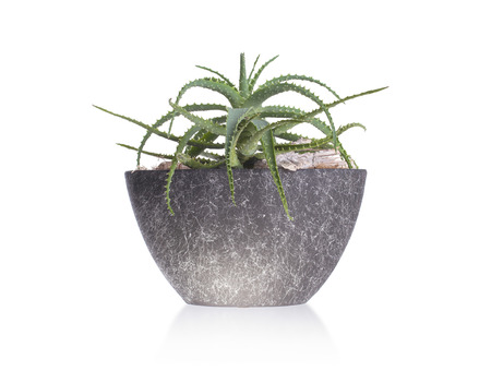 branching: Green cactus in a grey pot, isolated Stock Photo