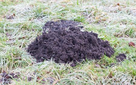 molehill: Molehill- lawn, damaged by a mole burrowing underneath and pushing up a molehill