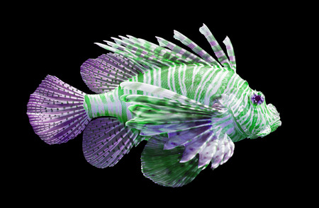 pterois volitans: Pterois volitans, Lionfish Isolated on black - Purple and green