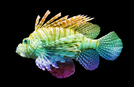 pterois volitans: Pterois volitans, Lionfish - Isolated on black - Unique rainbow Stock Photo