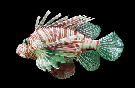pterois volitans: Pterois volitans, Lionfish - Isolated on black - Red and green
