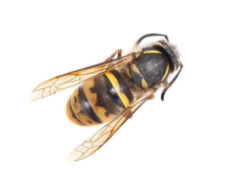 abdomen yellow jacket: Dead wasp isolated on a white background