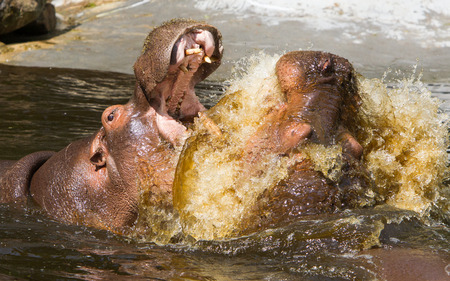 antagonistic: Two fighting hippos in the water (Hippopotamus amphibius) Stock Photo