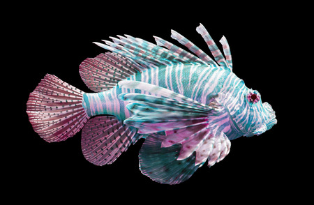 Pterois volitans, Lionfish - Isolated on black - Blue and red