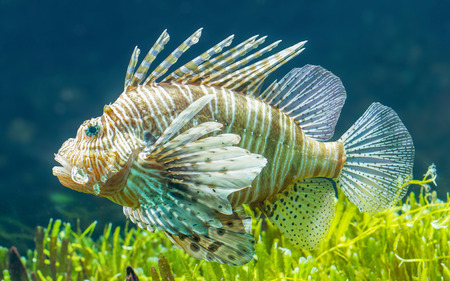 pterois: Pterois volitans, Lionfish - Swimming in the sea