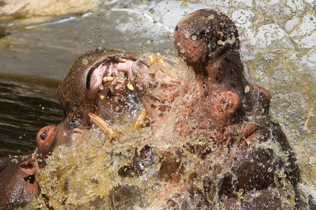 amphibius: Two fighting hippos in the water (Hippopotamus amphibius) Stock Photo