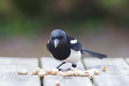 pica: European Magpie (pica pica) feeding on peanuts