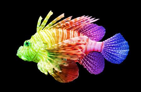 pterois: Pterois volitans, Lionfish Isolated on black - Unique rainbow