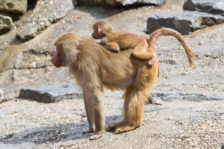 social behaviour: Female baboon with a young baboon in their natural habitat