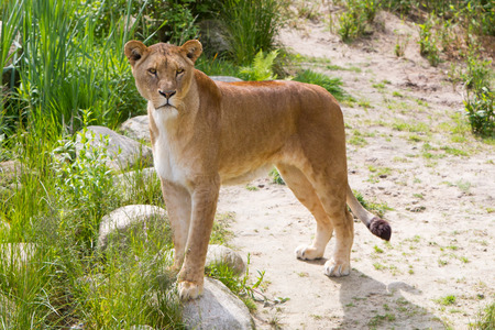 lioness: Large lioness in a bright green environment Stock Photo