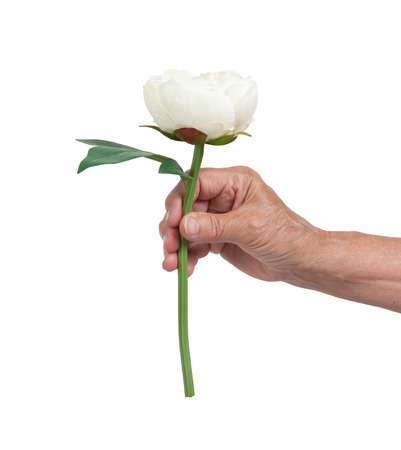 mano anziano: Old hand giving a rose, isolated on white Archivio Fotografico