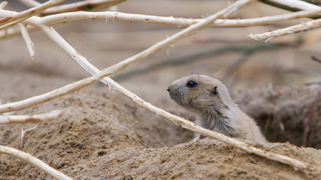 terrestrial mammal: Prairie dog checking out, entrance to a hole
