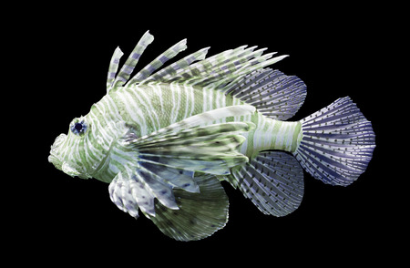 pterois volitans: Pterois volitans, Lionfish - Isolated on black - Purple and green