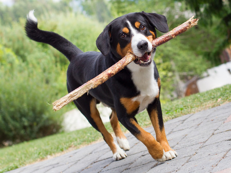 gentile: Young Sennenhund, playing with long branch, playfull look in eyes Stock Photo