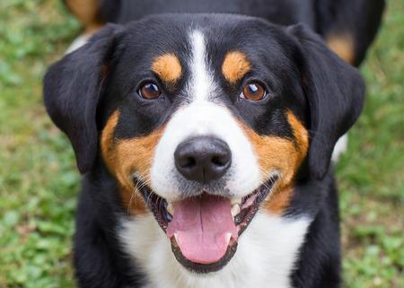 sennenhund: Giovane Sennenhund, primo piano, sguardo giocoso negli occhi