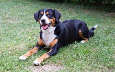sennenhund: Young Sennenhund on the grasss, playfull look in the eyes Stock Photo