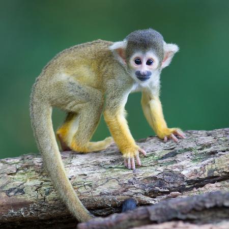 sciureus: Small common squirrel monkeys (Saimiri sciureus), selective focus