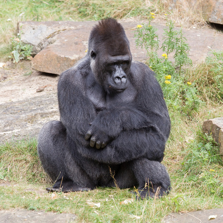 hairy back: Silver backed male Gorilla, enjoying some rest