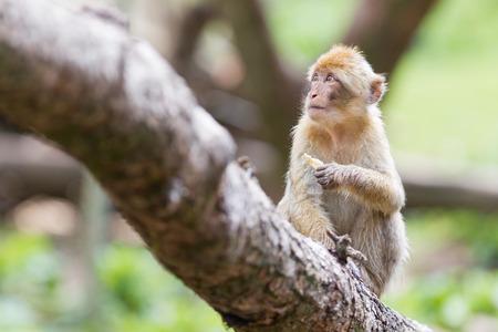 barbary ape: Barbary Macaque (Macaca sylvanus) eating, selective focus Stock Photo
