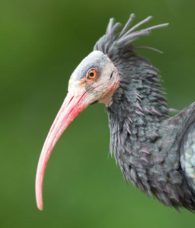 ibis: Northern Bald Ibis (Geronticus eremita), portrait, close-up