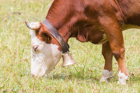alp: Brown milk cow in a meadow of grass, Alps, Switzerland Stock Photo