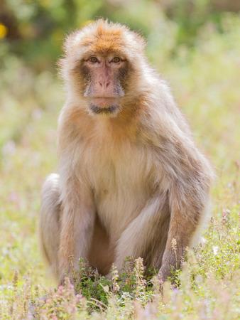 barbary ape: Barbary Macaque (Macaca sylvanus) resting, selective focus