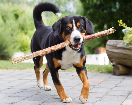 sennenhund: Young Sennenhund, playing with long branch, playfull look in eyes Stock Photo
