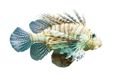 pterois: Pterois volitans, Lionfish - Isolated on white - Natural colors
