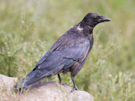 zwarte: Black Crow - Zwarte Kraai - Corvus Corone - Carrion Crow