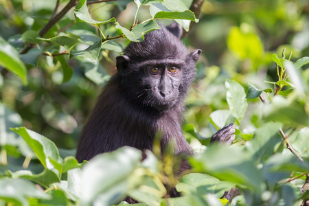 celebes: Young Celebes crested Macaque in a tree