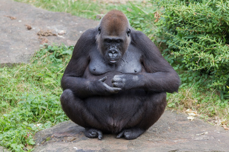 enclosures: Adult gorilla resting in the green grass