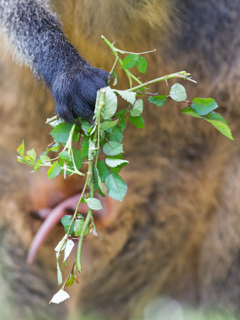 wallaby: Kangaroo: Wallaby close-up portrait, eating in peace Stock Photo