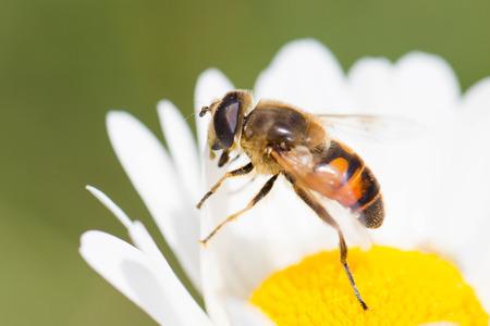 calceolaria: Bee on flower, selective focus, macro shot Stock Photo