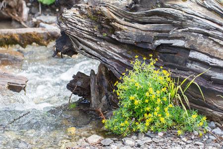 waterside: Fresh yellow flowers at the waterside of a waterfall, Switzerland