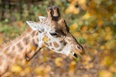 feeding through: Single giraffe feeding, photographed through the leaves, selective focus