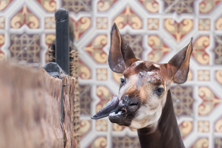 Close-up of an okapi seeking some attention