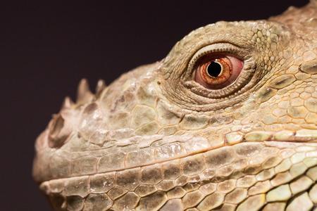 squamata: Close-up of a green iguana resting, selective focus Stock Photo