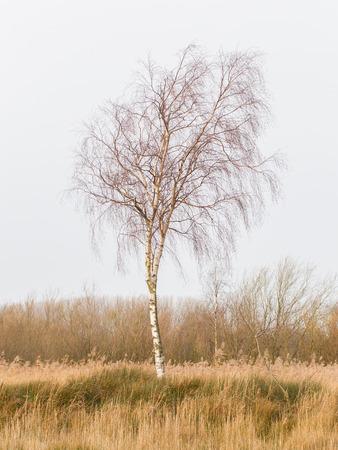 betula pendula: Bare Silver birch (Betula pendula) in the dutch landscape